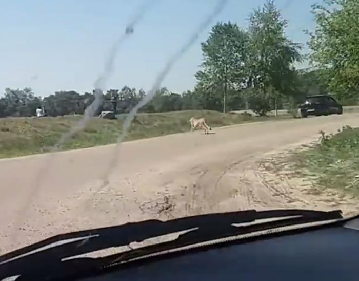 Çita Saldırısı 2