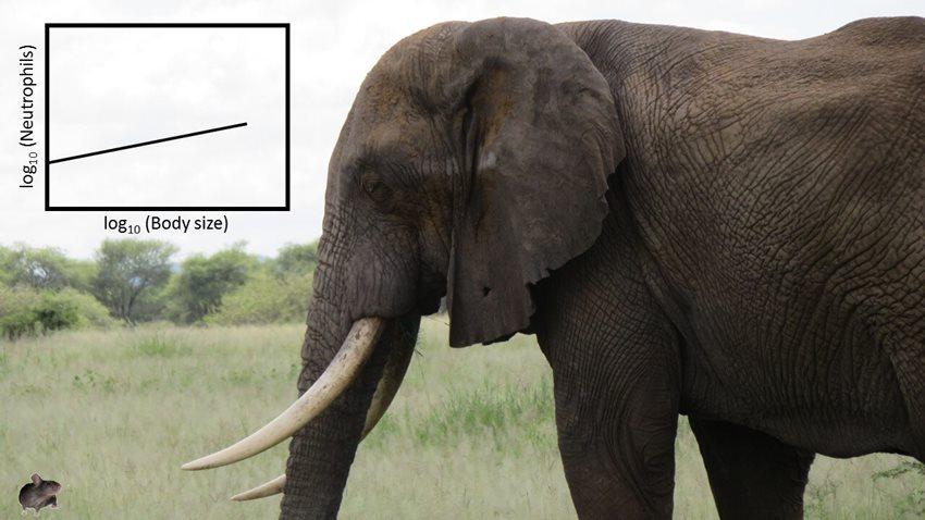 Büyük Cüsseli Hayvanların Bağışıklık Sistemi Daha Güçlü