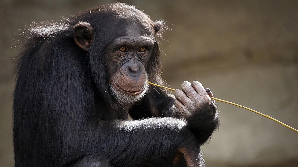 maymunlara-temel-hak-verilmesi-icin-referandum