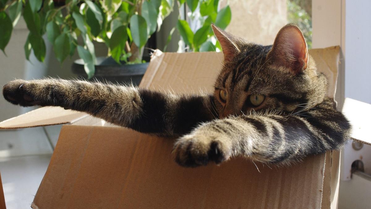 Kedilerin Kutu Sevgisi Araştırmalara Konuk Oldu