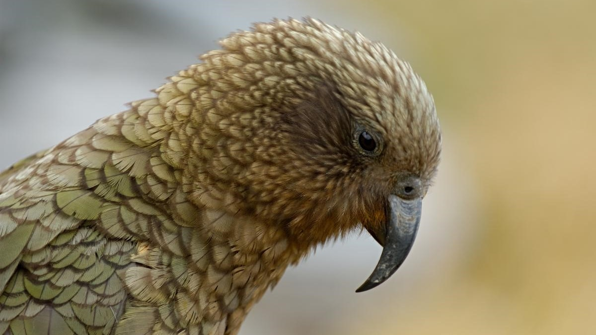 Dağ Papağanlarının İnsanlardan Kaçtığı Fark Edildi -1