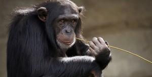 Maymunlara Temel Hak Verilmesi için Referanduma Gidiliyor!