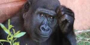 Bilim Dünyasını Şaşkına Çeviren Olay: Goriller Koronavirüse Yakalandı!