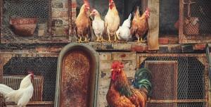 Kuş Gribi Geri Döndü: Milyonlarca Tavuk İtlaf Edildi!