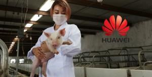 Huawei Telefon Satışları Düşünce Domuzlara Yöneldi