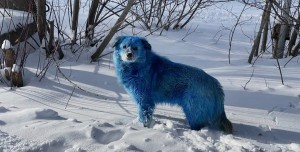 Rusya'daki Mavi Köpekler Sosyal Medya Gündeminde