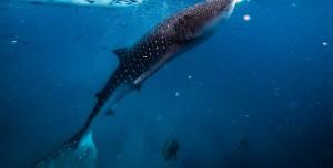 İnsan Yüzlü Köpek Balığı Görenleri Şaşkına Çevirdi!