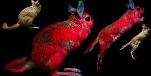 Bu Kemirgenler, UV Işınları ile Bukalemun Gibi Renk Değiştiriyor