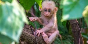 Araştırma: Maymunlar da Gizlice Dinleme Yapıyor