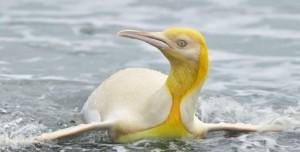 Dünyada İlk Kez Sarı Penguen Görüldü!