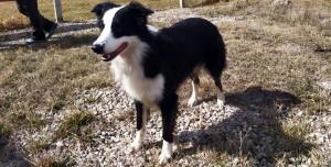 Türkiye'de İlk: Koronavirüsü Teşhis Eden Köpek Yetiştirildi