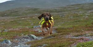 Eğitimli Köpekler, Koronavirüs Vakalarını Daha Kısa Sürede Tespit Ediyor