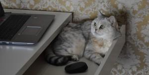 Kediler Neden Laptopa Oturur? İşte Bilimsel Açıklaması!
