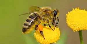 Arılar Koronavirüs Tespitinde Kritik Rol Oynayacak