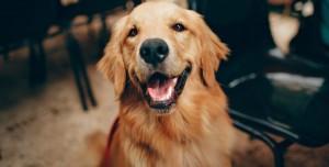 Köpeklerin Asemptomatik Vakaları da Tespit Edebildiği Ortaya Çıktı