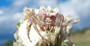 Denizli'de İnsan Yüzlü Örümcek Bulundu