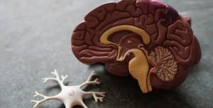 Vücuttaki En Benzer İki Organ Beyin ve Testis Olabilir