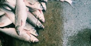 Balıklar Uyuşturucu Bağımlısı Oldu: Nehirlerdeki Meth Tehlikesi