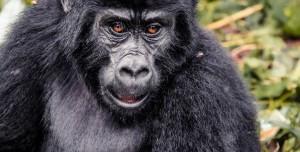Gorillere Saldıran Şempanzeler İlk Kez Gözlemlendi: 2 Goril Öldü