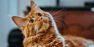 Kedilerdeki Bakteriler Antibiyotik Geliştirmek için Kullanılacak