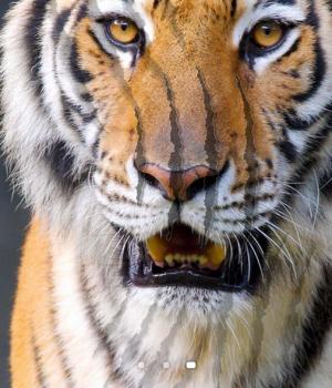 Tiger Live Wallpaper Ekran Görüntüleri - 3