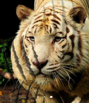 Tiger Live Wallpaper Ekran Görüntüleri - 4