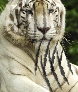 Tiger Live Wallpaper Ekran Görüntüleri - 2