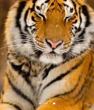 Tiger Live Wallpaper Ekran Görüntüleri - 1