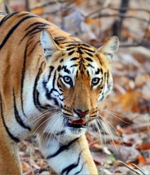 Hindistan'da Vahşi Yaşam Teması Ekran Görüntüleri - 2