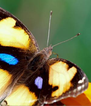 Nagpur Kelebekleri Teması Ekran Görüntüleri - 2