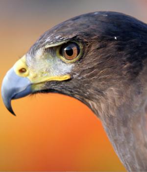 Yırtıcı Kuşlar Teması Ekran Görüntüleri - 1