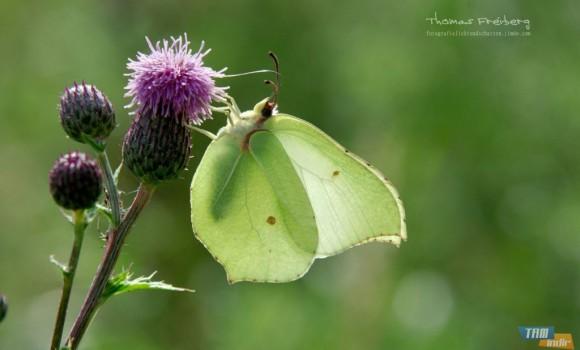 Almanya Kelebekleri Teması Ekran Görüntüleri - 1