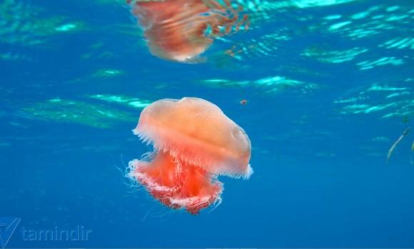 Denizanası Teması Ekran Görüntüleri - 1