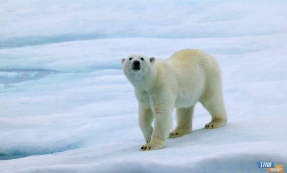 Kutup Ayıları Teması Ekran Görüntüleri - 2