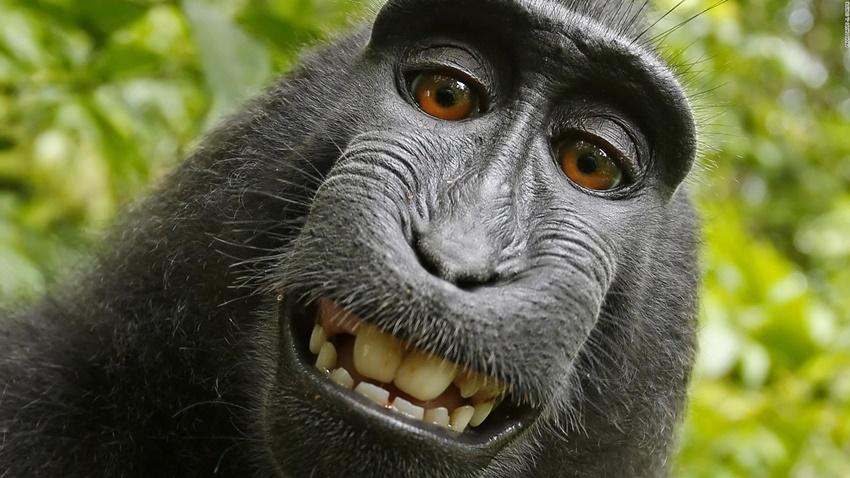 Maymun Telif Hakkı