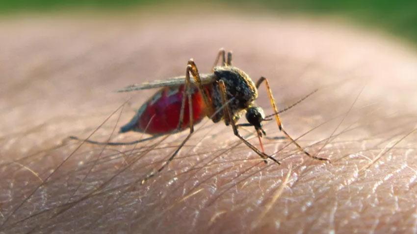 Genetiği Değiştirilmiş Sivrisinek 1