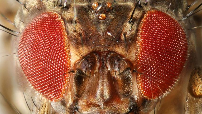 sirke sineği pinar onal