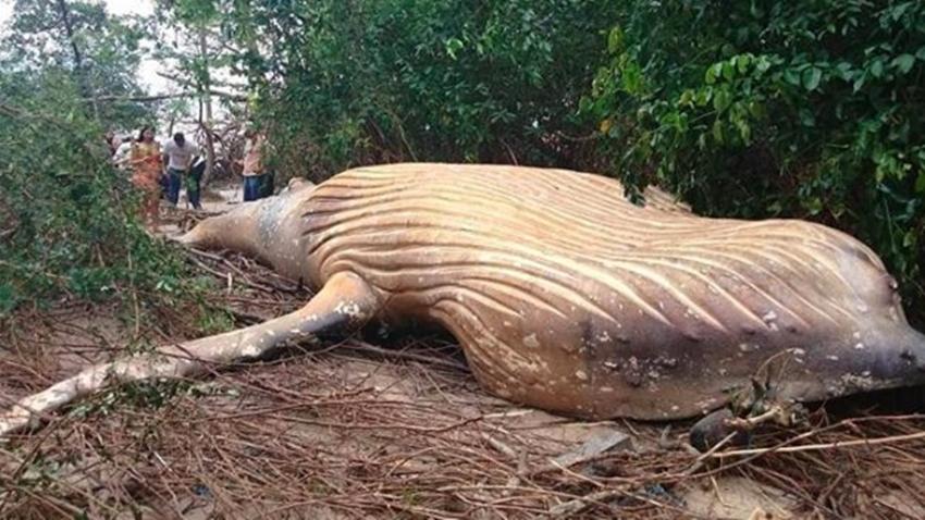 kambur balina brezilya orman