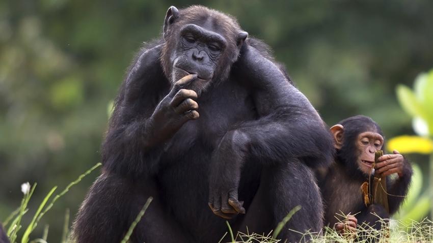 şempanze işaret dili