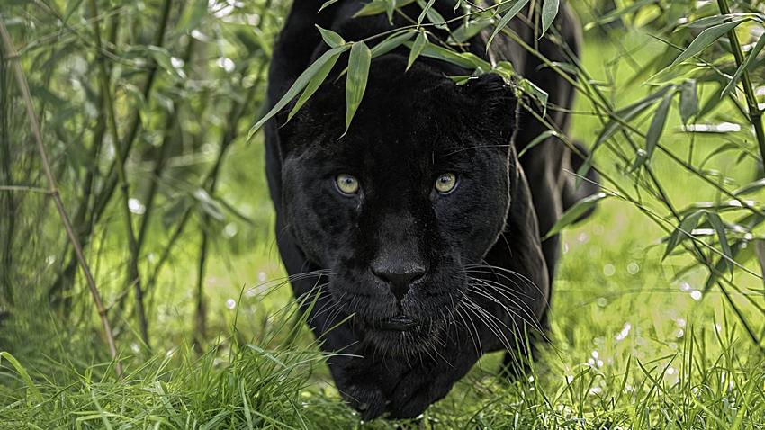 Selfie Merakı Yüzünden Jaguara Yem Oluyordu! İşte O Anlar