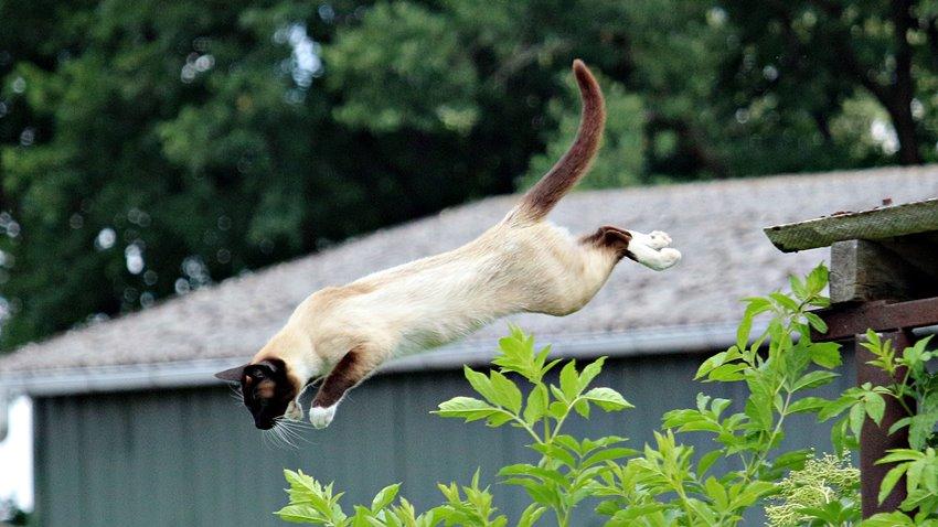 Kediler Neden Dört Ayak Üstüne Düşer