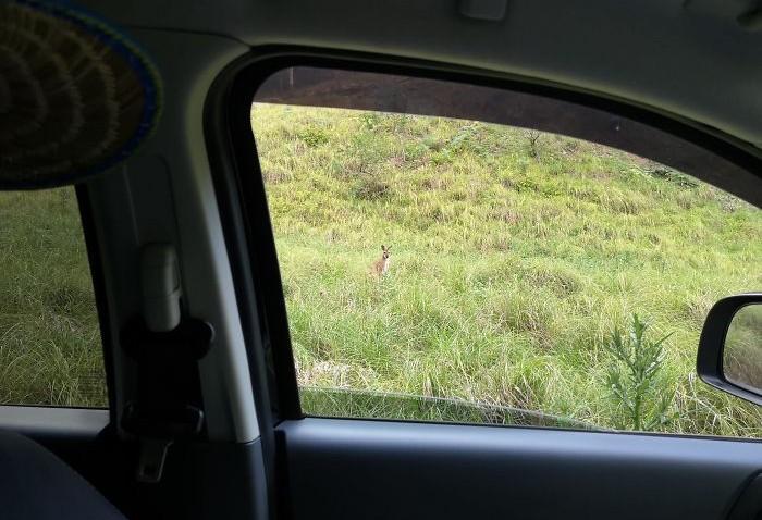 araba camından kanguru