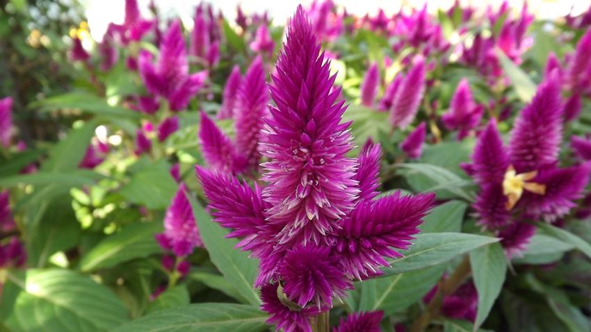 google pigweed işletim sistemi horoz ibiği çiçeği