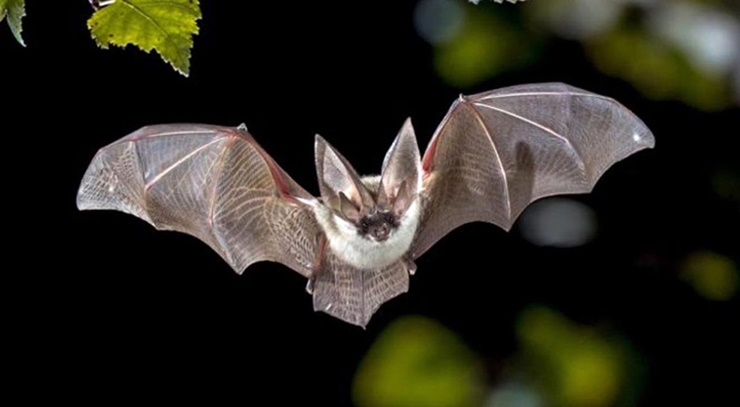 Yarasalar karanlıkta ekolokasyon kullanarak yollarını bulabiliyorlar.