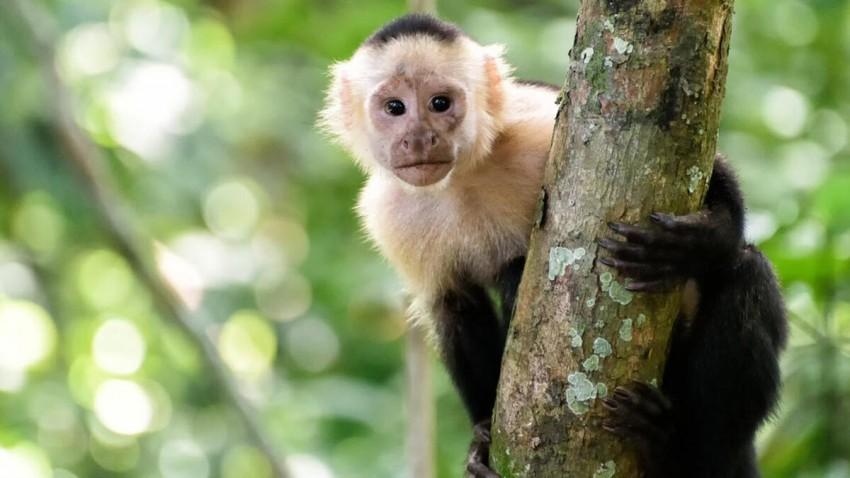 Koronavirüsü İlaç Testlerinde Java Maymunları Kullanılabilir