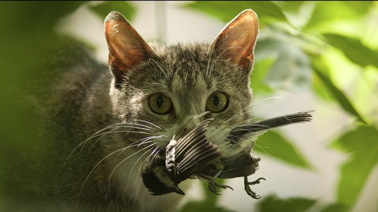 Kediler Doğal Hayatı Tehdit Ediyor