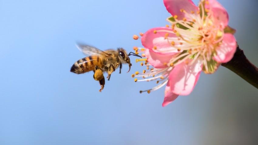 Bal Arısı Kanseri Tarihe Gömebilir