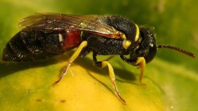 Birçok Arı Türü Nesli Tükenmekte Olan Canlılar Arasına Eklendi!