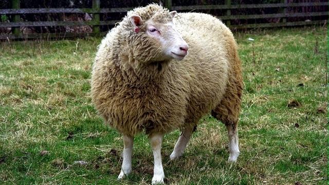 Klonlanan İlk Koyun Dolly'nin Klonları Oldukça Sağlıklı