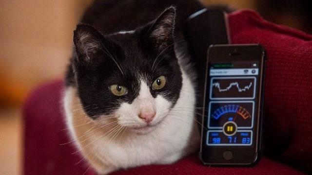 Bir Motosikletten Bile Daha Gürültülü Kedi İle Tanışın